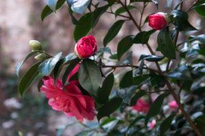 Kamélie - nejdřív jsem je považovala za růže a bylo mi divné, jak krásně kvetou v únoru.